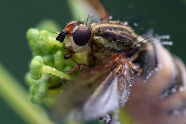 2538 Yellow dung fly by RealMantis