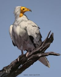 Egyptrian vulture by Keprion