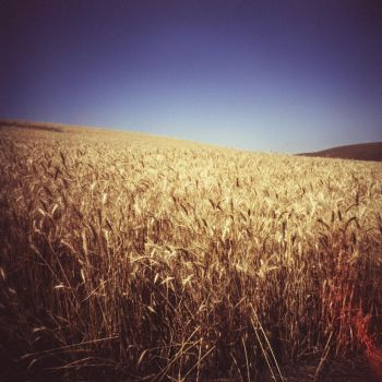 golden harvest by aimeelikestotakepics