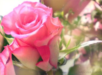 Dreamy Pink Rose by SuspiciousTeacup