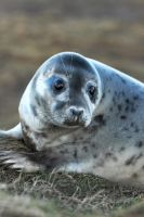 Grey Seal Pup Profile by Shadow-and-Flame-86