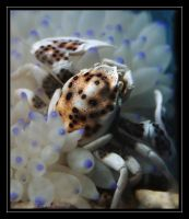 Anemone Crab by oOBrieOo