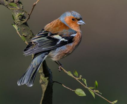 Chaffinch 3 by KlikitiKlik