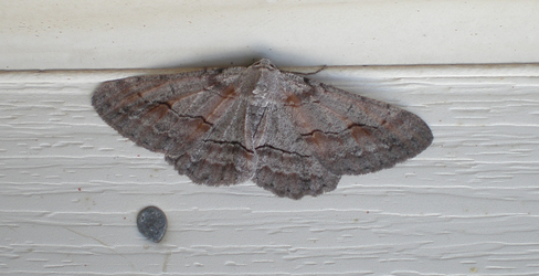 Another Moth by CaspianSeaMonster