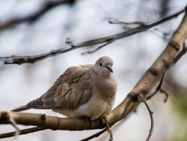 Dove On A Branch by InayatShah