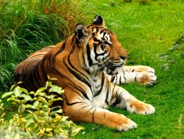 Bengal in Repose. by quaddie