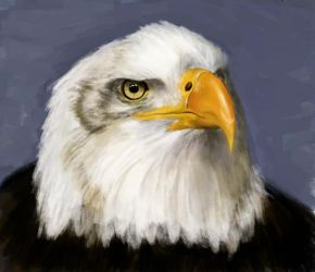 bald eagle study by Laura-GT