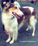 Borzoi Stock 1 by Marzipan-Stock