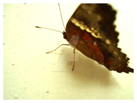 Butterfly I by adreamfulfilled