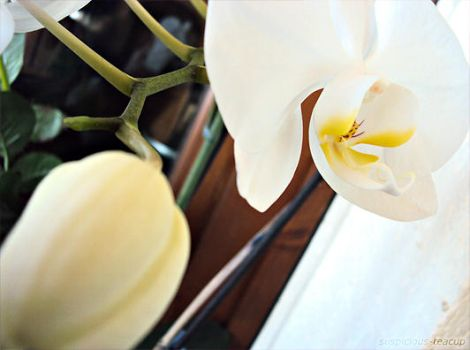 Pure White Orchid by SuspiciousTeacup