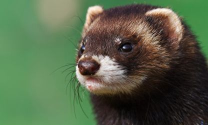 Polecat by SnowPoring