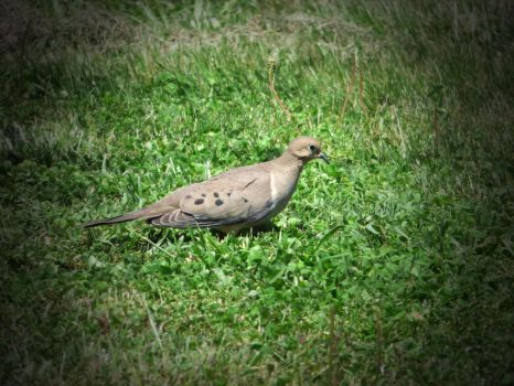 Mourning Dove by cjmartin87