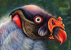 The king vulture by emizael