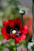 Poppies by El-Sharra