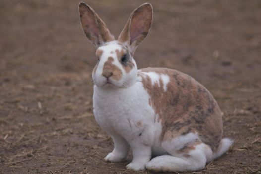 Stock Image- Rex Rabbit by MNArtPhotography