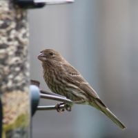 House Finch (F) by LoloAlien