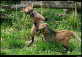 Maned wolf cubs 2 by Lunchi