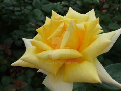 yellow rose by dans2