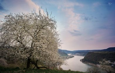 Cherry blossoms above the Rhine by Morgo