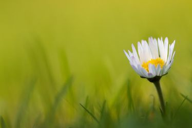 Bellis perennis 2 by coloridas-aves