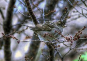 A Sparrow by bojar