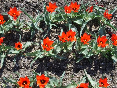 Red tulips by wirtin