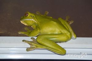 Green Frog On The Window by pfgun0