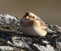Snow Bunting by NurturingNaturesGift