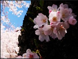 Cherry Blossoms 1 by CarouselOfLife