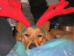 Christmas Reindeer? by ReflectionsByIce