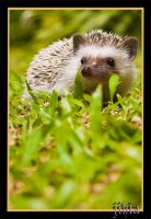 Hedgehog I by jihia
