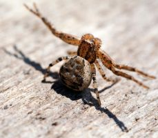 Ground Crab Spider (Xysticus) by WanderingMogwai