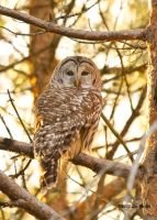 Barred Owl 2 by Les-Piccolo