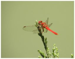 Red Dragonfly 2 by zentenophotography