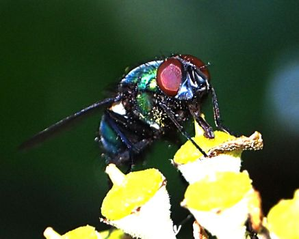 Mouche6 by hubely