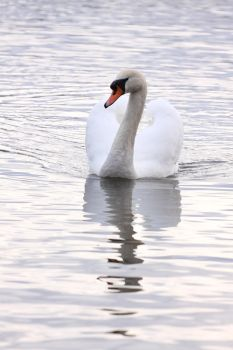 Swan Swimming by Tiger-Tom