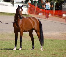 TW Arab bay white star stand by Chunga-Stock
