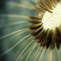 Dandelion. by Somebody--else