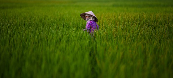 Rice Fields by nnPhoto