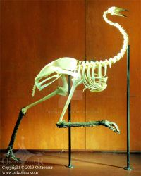 Emu Skeleton (D. novaehollandiae) by ToddGreen