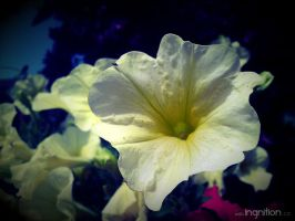 Summer Flower 2012 - 6 by Ingnition