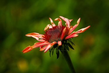 Echinacea by Charmed-n-Captivated
