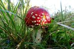 Fly on the Fly Agaric or Fly Amanita by HeidyRolland