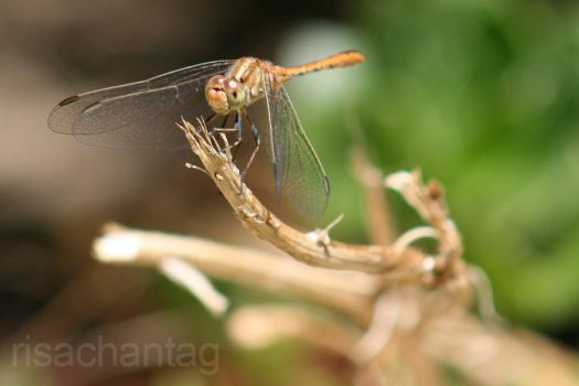 A Very Considerate Dragonfly by Risachantag