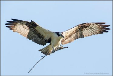 Osprey by kootenayphotos