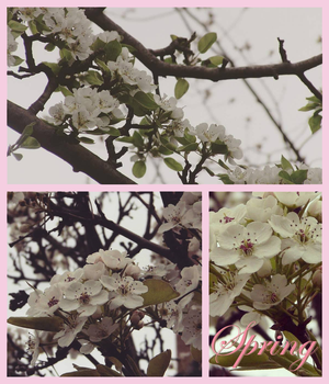 Cherry Blossoms by marylizabetha