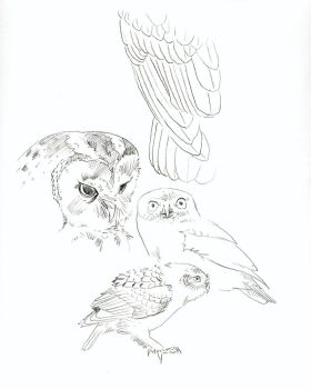 Owl sketches by Heliocyan