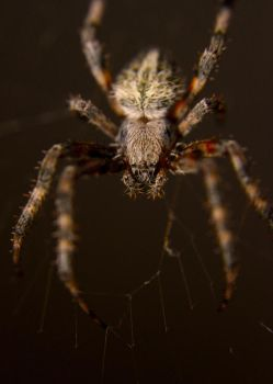 fuzzy spider by Dwagonite