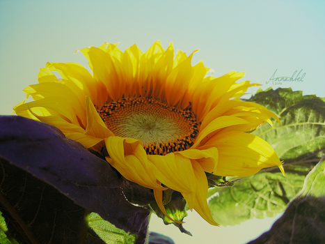 Stately sunflower by Annahbel