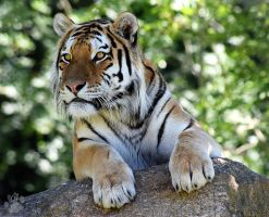 Amur Tiger by CharlyJade